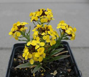 Trýzel 'Canaries Yellow' - Erysimum hybridum 'Canaries Yellow'