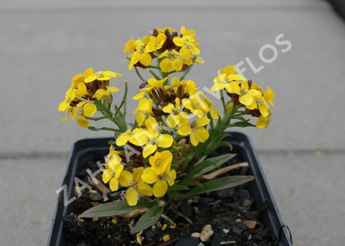 Trýzel 'Canaries Yellow' - Erysimum hybridum 'Canaries Yellow'