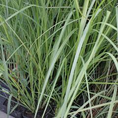 Pampová tráva 'Rosea' - Cortaderia selloana 'Rosea'