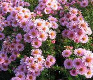 Hvězdnice novoanglická 'Rosa Sieger' - Aster novae-angliae 'Rosa Sieger'