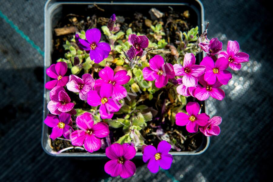 Tařička kosníkovitá 'Audrey Red Purple Mix' - Aubrieta deltoides 'Audrey Red Purple Mix'
