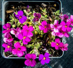 Tařička kosníkovitá 'Audrey Red Purple Mix' - Aubrieta deltoides 'Audrey Red Purple Mix'