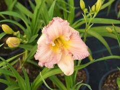 Denivka 'Our Diane' - Hemerocallis 'Our Diane'