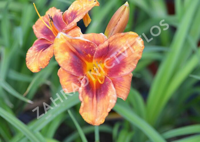 Denivka 'Frank Smith' - Hemerocallis 'Frank Smith'