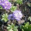 Prvosenka zoubkatá 'Lilac' - Primula denticulata 'Lilac'
