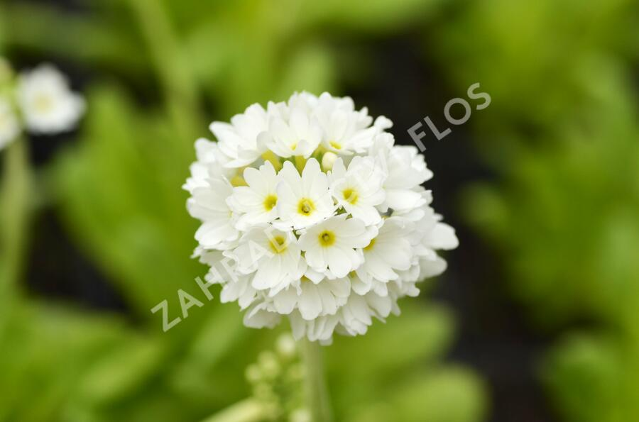 Prvosenka zoubkatá 'Alba' - Primula denticulata 'Alba'