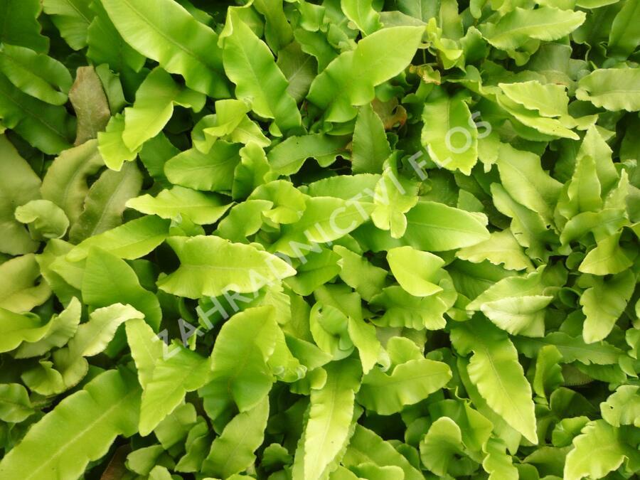 Jelení jazyk celolistý - Phyllitis scolopendrium