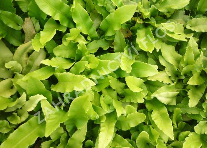 Jelení jazyk - Phyllitis scolopendrium