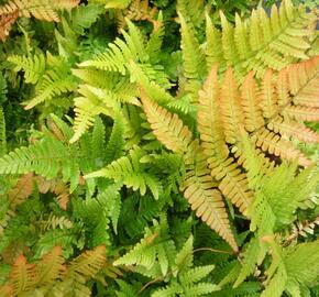 Kapraď červenavá 'Autumn' - Dryopteris erythrosora 'Autumn'