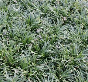 Sedoulek japonský 'Minor' - Ophiopogon japonicus 'Minor'