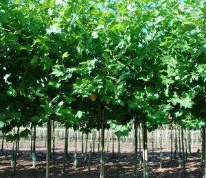 Platan javorolistý 'Malburg' - Platanus acerifolia 'Malburg'