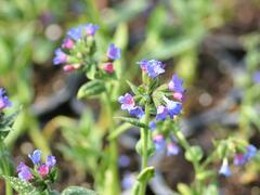 Plicník 'Margery Fish' - Pulmonaria vallarsae 'Margery Fish'