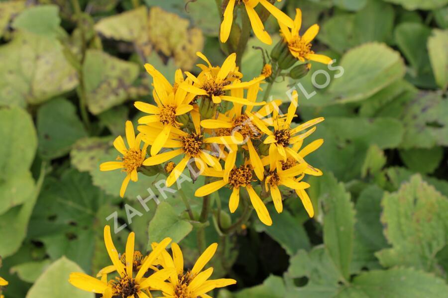 Popelivka Hesseova - Ligularia hessei