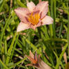 Denivka 'Longfields Glory' - Hemerocallis 'Longfields Glory'