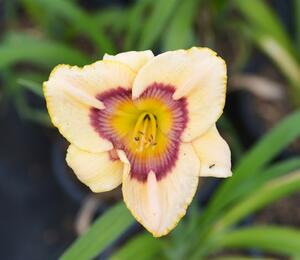 Denivka 'Rainbow Candy' - Hemerocallis 'Rainbow Candy'