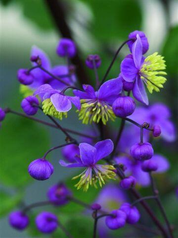 Žluťucha - Thalictrum rochebrunianum