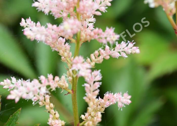 Čechrava japonská 'Peach Blossom' - Astilbe japonica 'Peach Blossom'