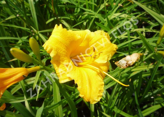 Denivka 'Serenity Morgan' - Hemerocallis 'Serenity Morgan'
