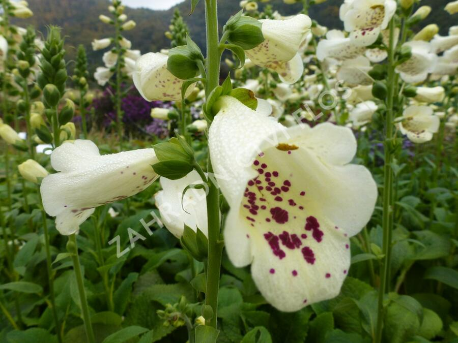 Náprstník červený 'Virtuoso Cream' - Digitalis purpurea 'Virtuoso Cream'