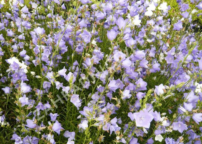Zvonek broskvolistý 'Blue' - Campanula persicifolia 'Blue'