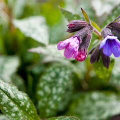 Plicník skvrnitý 'Marry Mothrem' - Pulmonaria saccharata 'Marry Mothrem'