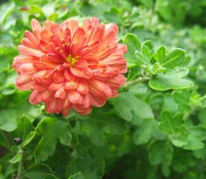 Listopadka indická 'Herbstbrokat' - Dendranthema indicum 'Herbstbrokat'