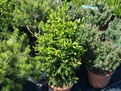 Smrk východní 'Gracilis' - Picea orientalis 'Gracilis'