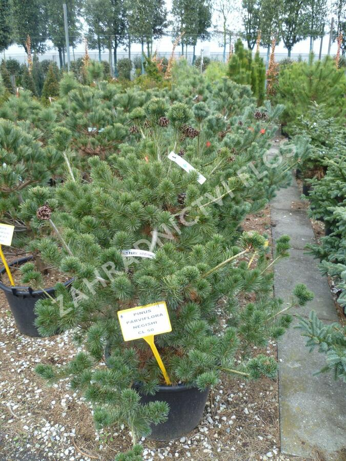 Borovice malokvětá 'Negishi' - Pinus parviflora 'Negishi'