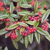 Skalník vrbolistý - Cotoneaster salicifolius