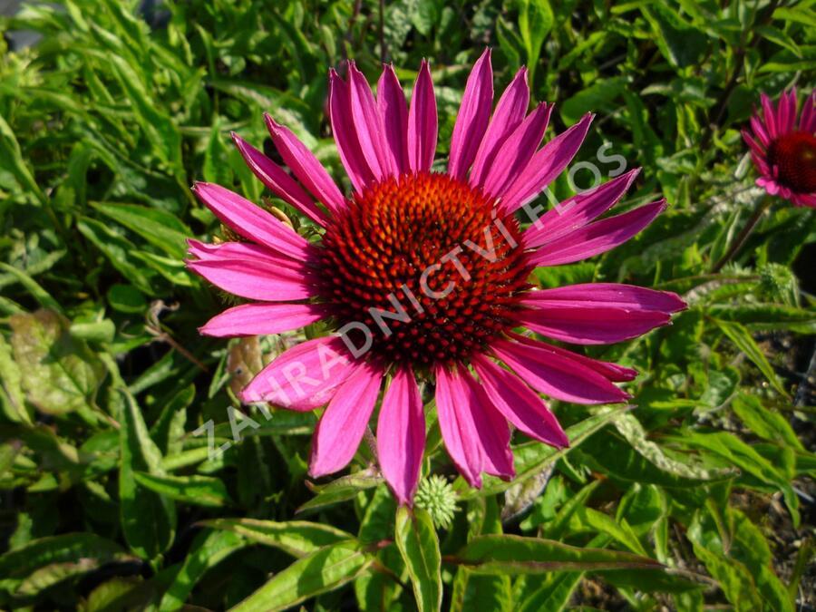 Třapatka nachová 'Vintage Wine' - Echinacea purpurea 'Vintage Wine'