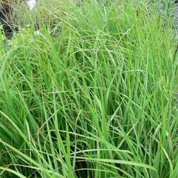 Třtina chloupkatá - Calamagrostis brachytricha