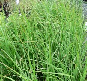 Třtina rákosovitá - Calamagrostis brachytricha