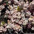 Rozchodník lžičkolistý 'Purpureum' - Sedum spathulifolium 'Purpureum'