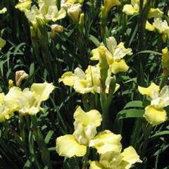 Kosatec sibiřský 'Welfenfurstin' - Iris sibirica 'Welfenfurstin'