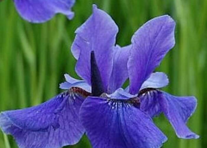 Kosatec sibiřský 'Taubenblau' - Iris sibirica 'Taubenblau'
