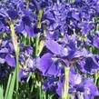 Kosatec sibiřský 'Rufflet Velvet' - Iris sibirica 'Rufflet Velvet'