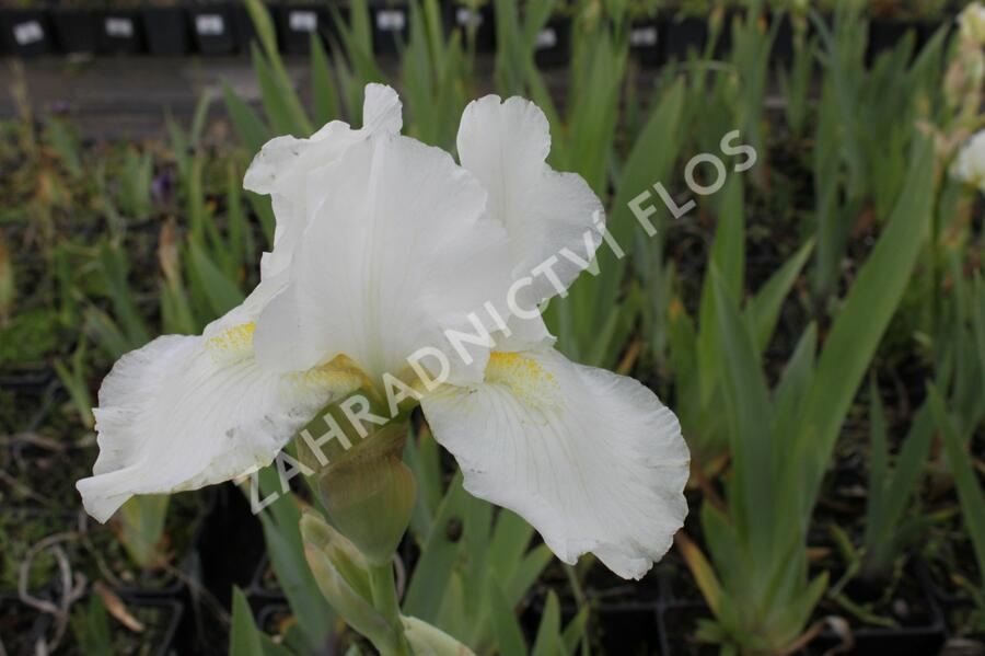 Kosatec německý 'Avanelle' - Iris barbata-media 'Avanelle'