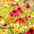 Třapatka nachová 'Cheyenne Spirit' - Echinacea purpurea 'Cheyenne Spirit'