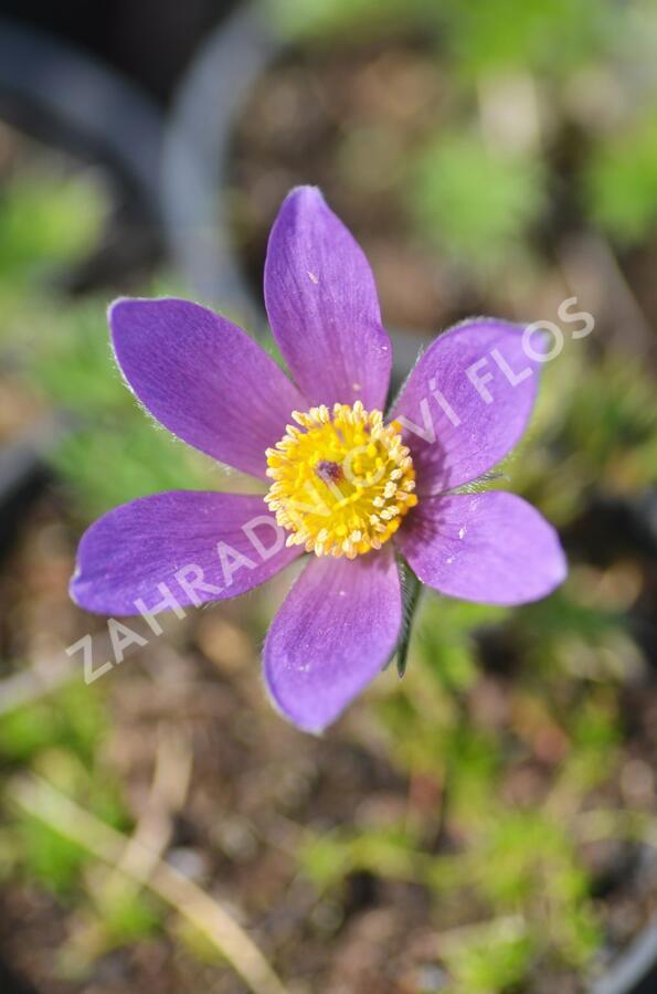 Koniklec obecný 'Violet Blue' - Pulsatilla vulgaris 'Violet Blue'