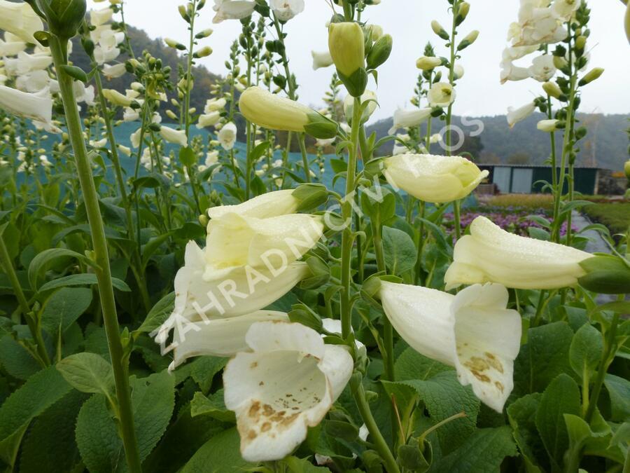 Náprstník červený 'Virtuoso White' - Digitalis purpurea 'Virtuoso White'