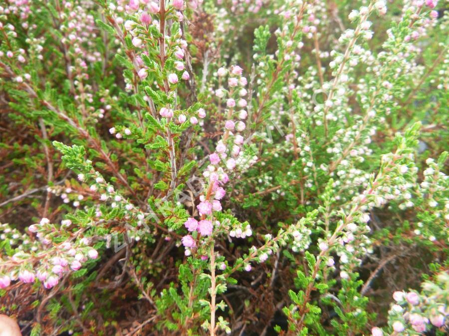 Vřes obecný 'Herbstfeuer' - Calluna vulgaris 'Herbstfeuer'