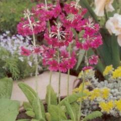 Prvosenka - Primula pulverulenta