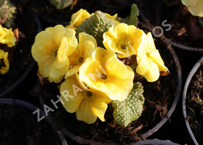 Prvosenka 'Wanda Yellow' - Primula juliae 'Wanda Yellow'