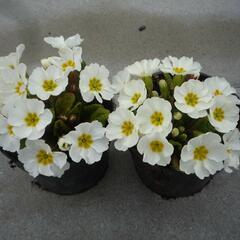 Prvosenka 'Wanda White' - Primula juliae 'Wanda White'