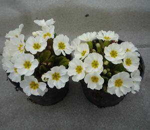 Prvosenka 'Wanda' Whit' - Primula juliae 'Wanda' White
