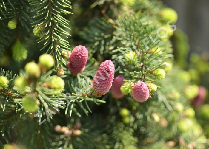 Smrk ztepilý 'Acrocona' - Picea abies 'Acrocona'