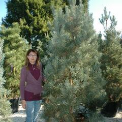 Borovice lesní 'Glauca' - Pinus sylvestris 'Glauca'