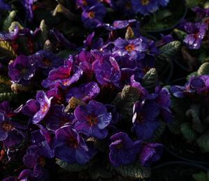 Prvosenka 'Wanda Blue' - Primula juliae 'Wanda Blue'