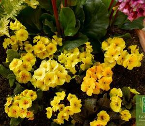 Prvosenka 'Wanda' Aprico' - Primula juliae 'Wanda' Apricot