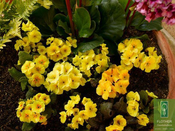 Prvosenka 'Wanda Apricot' - Primula juliae 'Wanda Apricot'